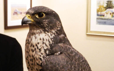 An Evening with Birds of Prey